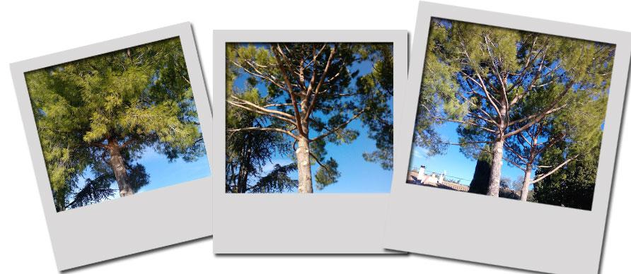 Élagage de pins