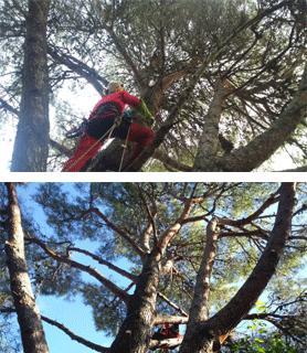Élagage pin d'Alep Nîmes